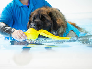 Leonberger swimming in the pool