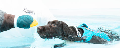 Dog swimming in the pool with a motivtional toy at House of Hydro