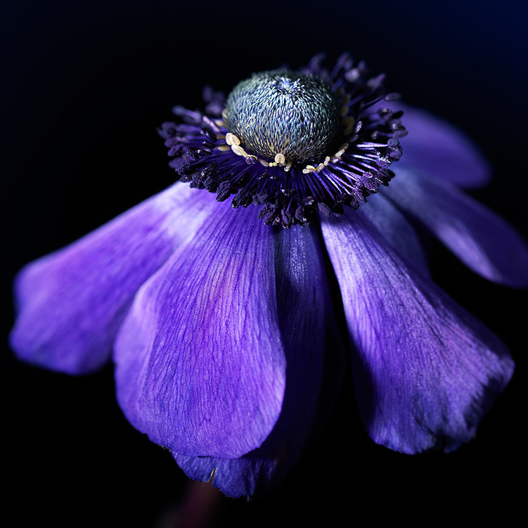 Anemone modrá