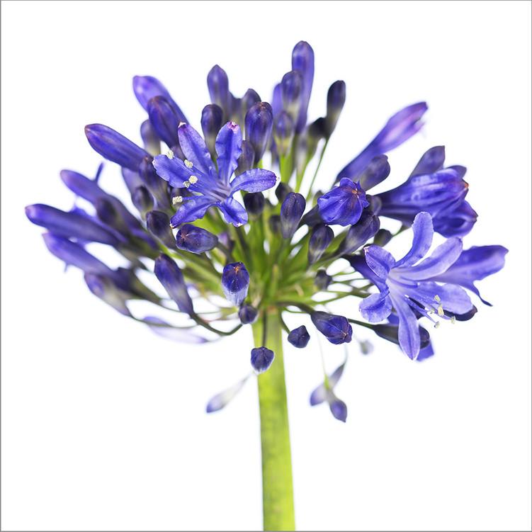 Agapantus modrý