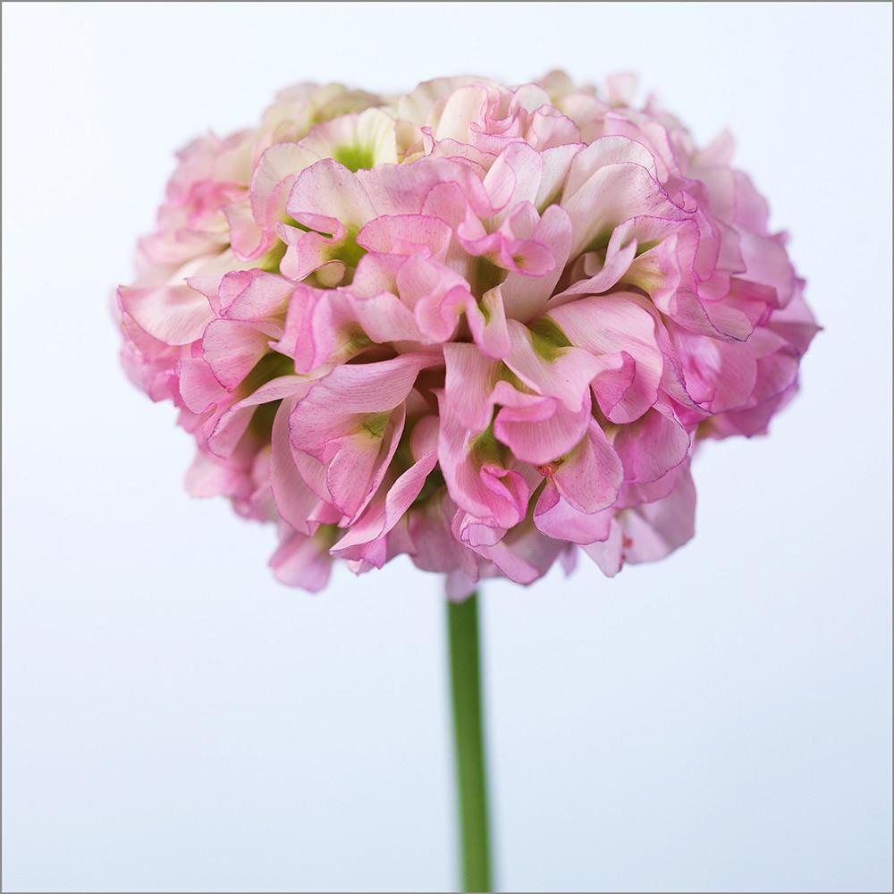 Ranunculus růžový