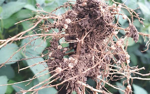 soybean nodules.JPG