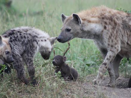 Onderzoekers Bar Ilan universiteit : 'Onder gevlekte hyena's worden sociale banden geërfd'