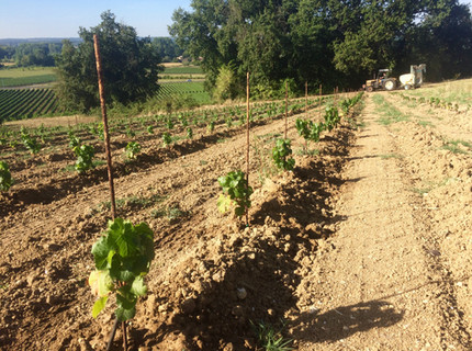 Our vineyard expands