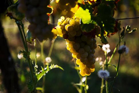 A grape in the sunshine