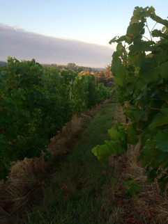 Our vine rows in the early morning