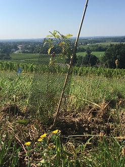 chênes truffiers aux vignobles ricard