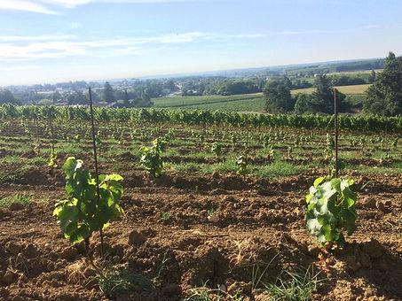 vignobles ricard plantation de sémillon pour élaborer le Sainte croix du mont