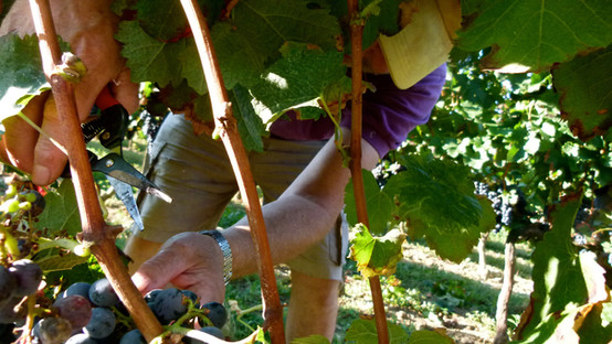 Cutting our grapes