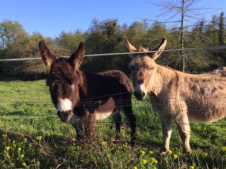 Phillou et Lucky, nos ânes
