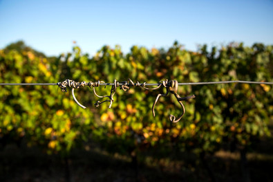 In our vineyard…