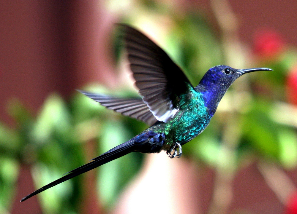 """The """"Doctor Bird"""" or Swallowtail Humming Bird lives only in Jamaica."""