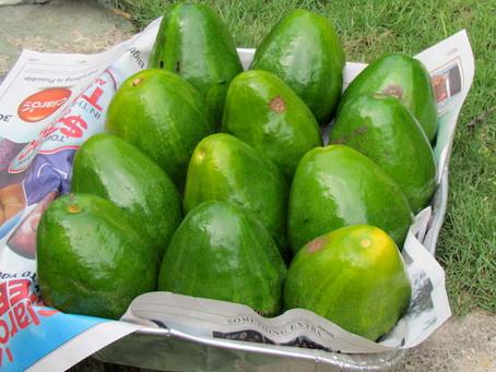Luscious Avocado Pear