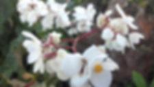 Wild Begonia.jpg