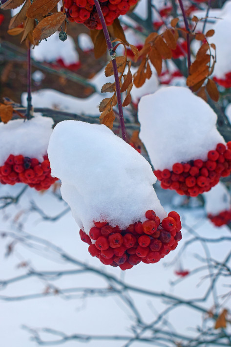 Berries Covered With Snow 2.jpg