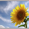 sunflower_copy.thumb.jpg