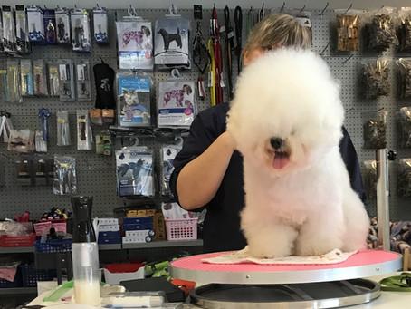Klippe- og pelsstellkurs for alle hverdagshelter :) Learning to groom a Bichon Frisé :)
