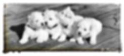 bichon svarthvitt.jpg