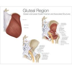 Gluteal Region Anatomy