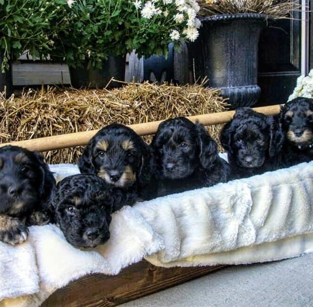 Bentley Reggie pups
