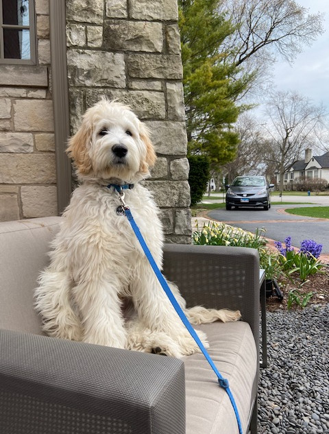 Cody the medium Goldendoodle