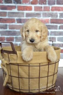 riley puppy in a basket - Copy.JPG