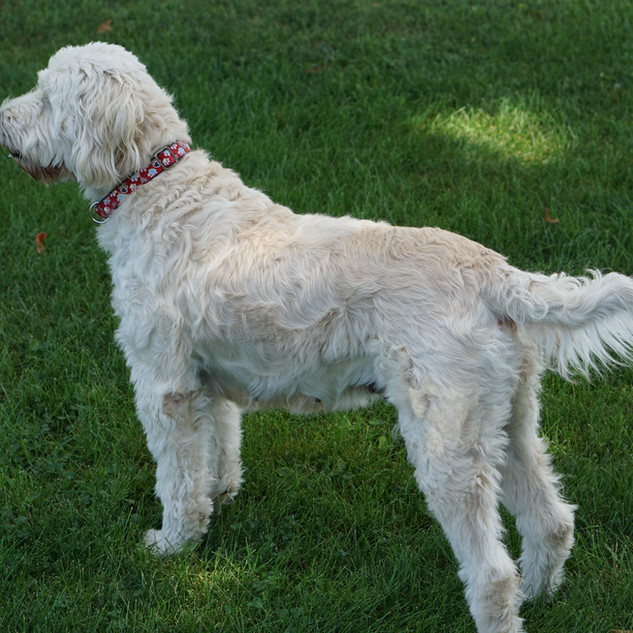 Riley the standard Goldendoodle