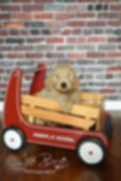 Riley puppy in the wagon.JPG