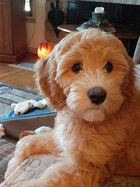 chloe the miniature goldendoodle