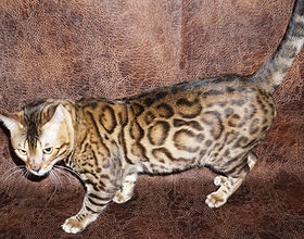 Chicagobengal com| Bengal Kittens For Sale| Chicago Illinois|
