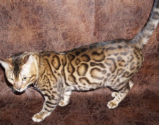 Chicagobengal Com Bengal Kittens For Sale Chicago Illinois