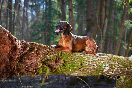 Bavarian Mountain Hound.jpg