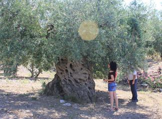 La Cooperativa Olivarera San Isidro y el Ayuntamiento de Periana presentan la Primera Ruta de Olivos