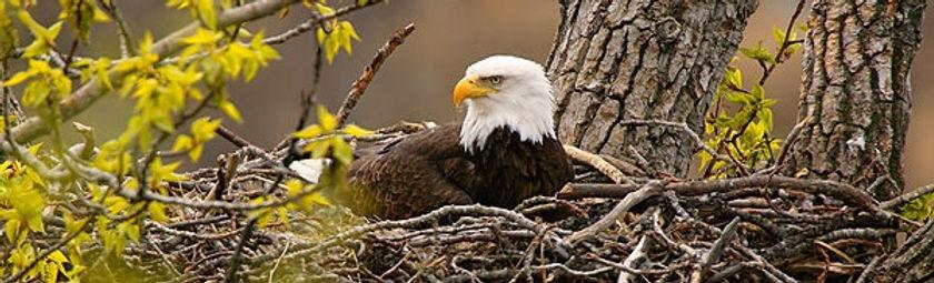 eagle in nest_edited.jpg