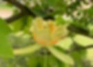 Een bloem in een tulpenboom, een unieke combinatie