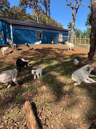 barn goats dogs.jpeg