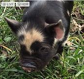 wh boar face_edited.jpg
