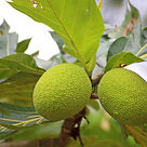 green breadfruit.jpg