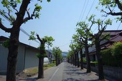 ユリノキ(ハンテンボク)の通学路
