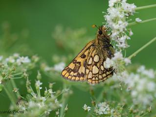 Butterfly watching nelle Alpi