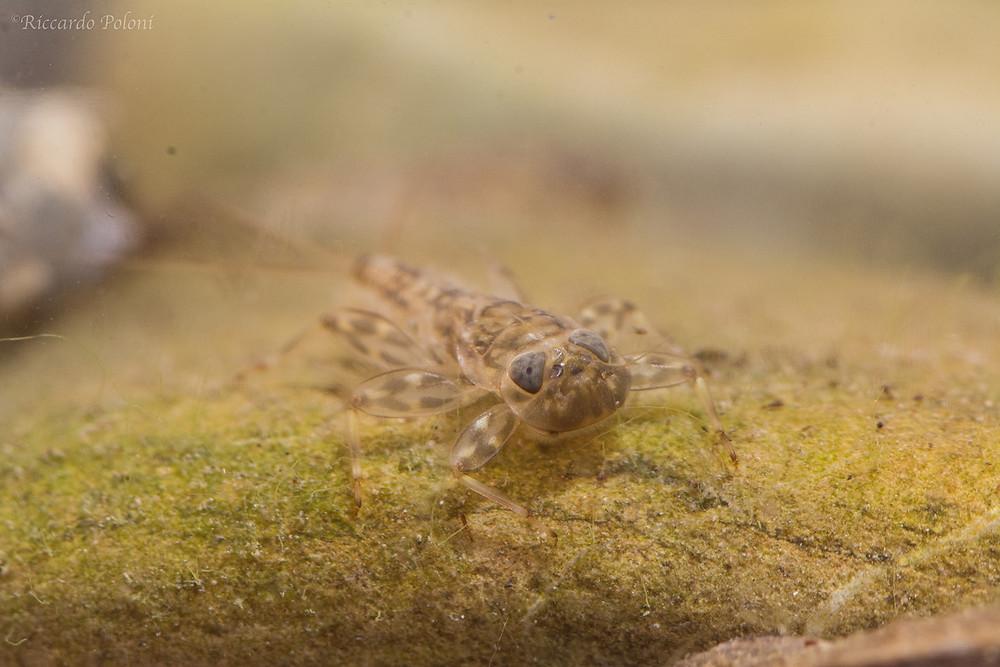 Larva di Efemerottero