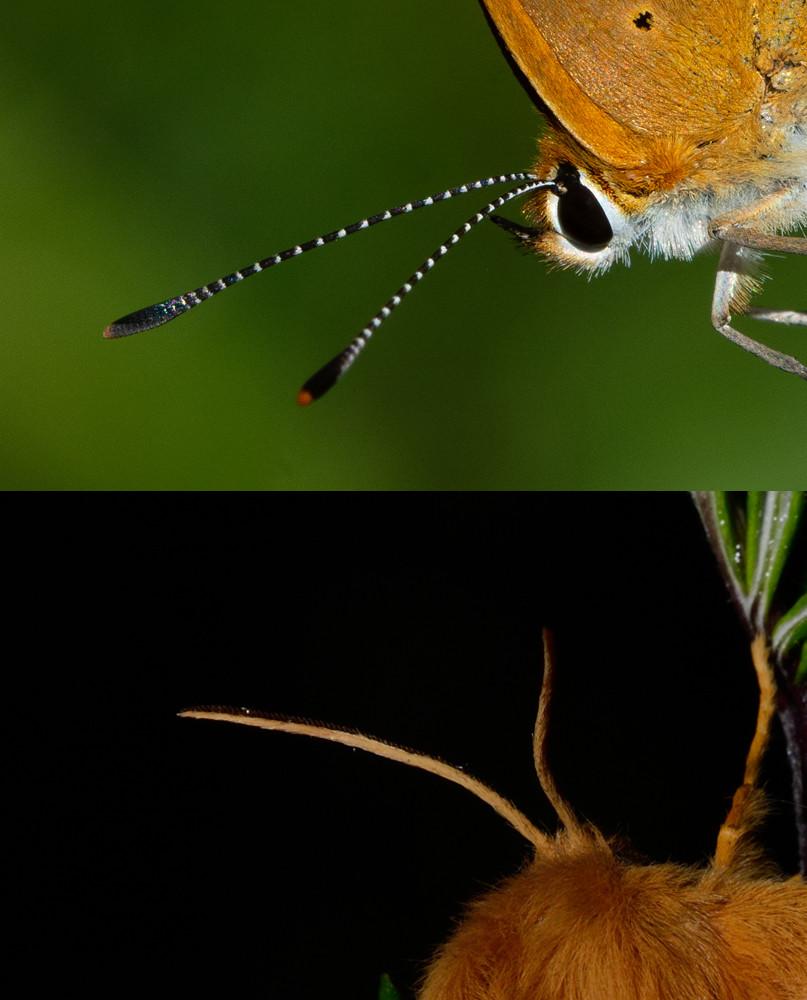 Le antenne di una Lycaena virgaureae, una farfalla (in alto) e quelle di una Lasiocampa trifolii, una falena (in basso)