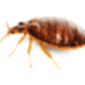 Bed-Bug-PNG-Free-Download.png