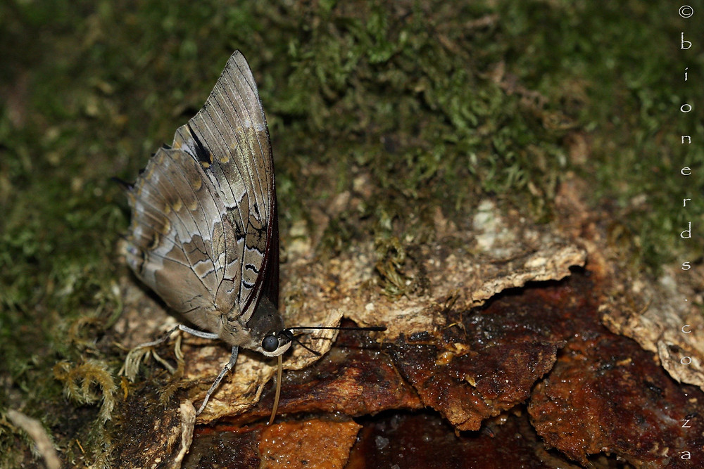 Male Western Forest-king Charaxes sitting with closed wings whilst feeding on the sapl of the Black Ironwood.