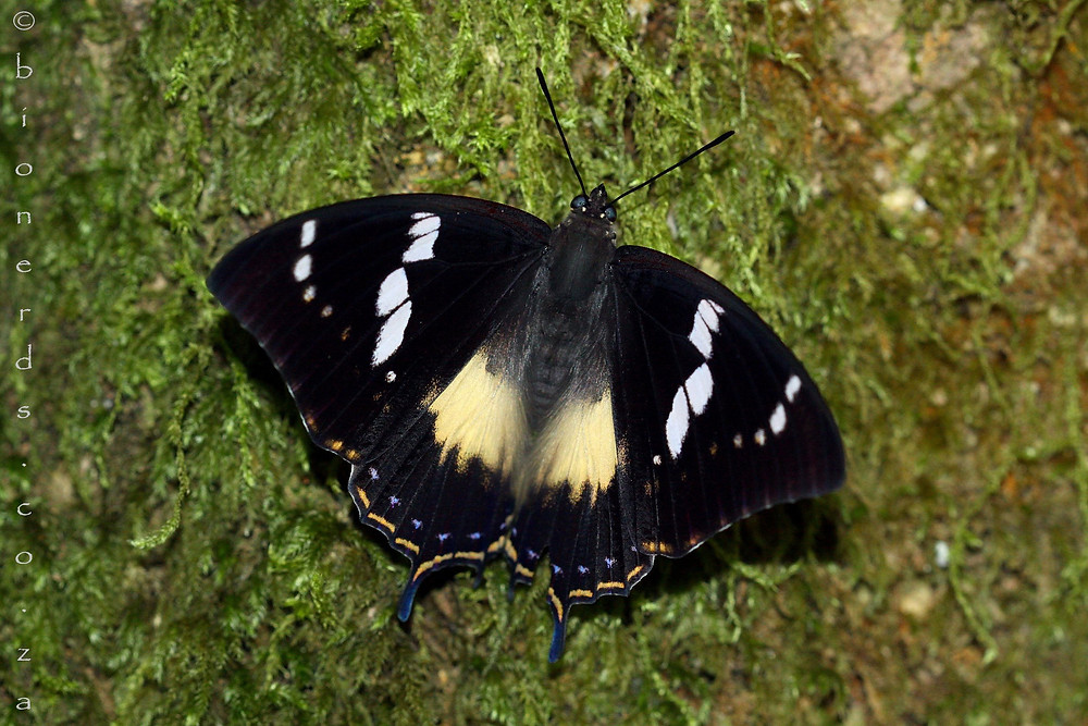 Female Western Forest-king Charaxes on the moss that lines the Ironwood trees in this glade.