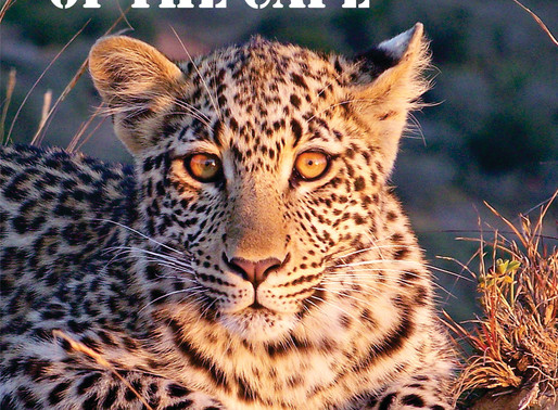 Leopards of the Cape