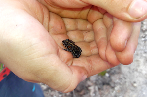 Cian, the most junior of the bionerds.co.za team, loves holding frogs and normally gives them a kiss before he releases them! Here he is holding a Capensibufo rosei - a Rose's Mountain Toadlet