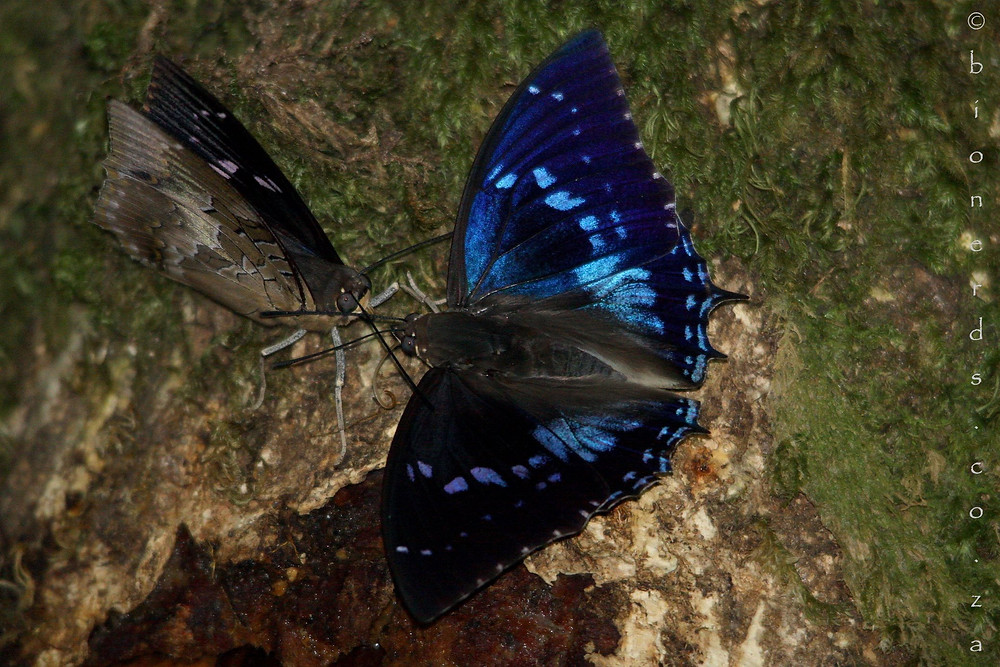 Male Western Forest-king Charaxes facing off on the edge of the feeding site.