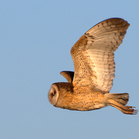 African Grass Owl flying low over our heads