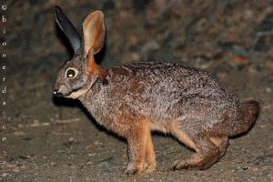 Riverine Rabbit (Bunolagus monticularis)
